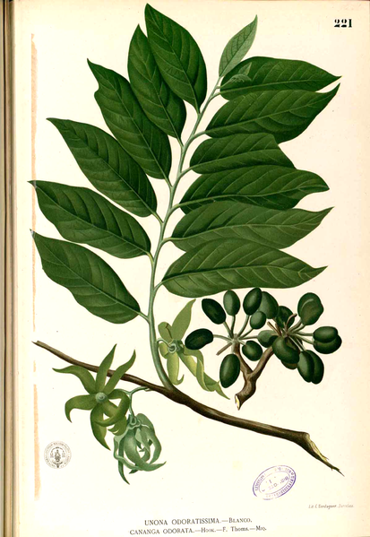Cananga odorata, or ylang ylang